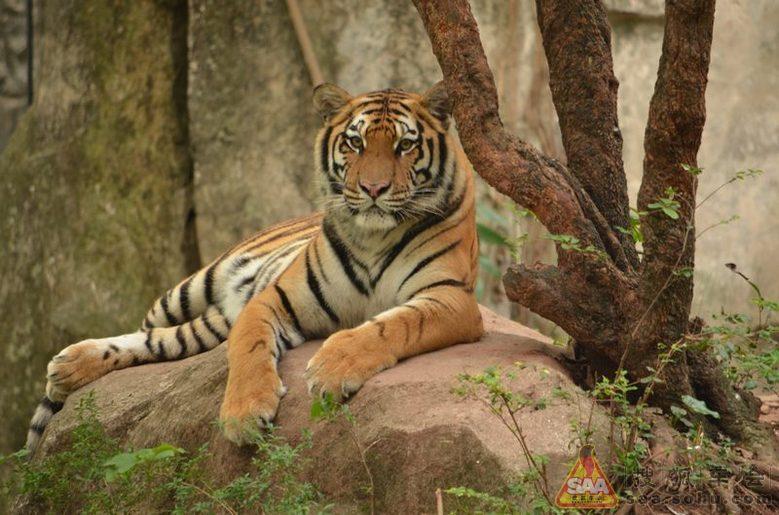 自从周老虎事件后,人们对老虎的关注多了起来,这个昔日的百兽之王的命运似乎没有没有好转。从目前的相关报道看,野生的华南虎已经消失在人们的视野中,野生的东北虎间有20来只,间或还有几只从老毛子那边走过来。老虎百兽之王,一山不容二虎,据说一只老虎生活空间是10平方公里,一个种群的延续至少需要十多只老虎,按目前地球人口密度和发展速度,几乎没可能为老虎预留那么多的深山老林,以人类的贪婪本性,老虎只能一步步走向末日之路。 在动物园拍到的老虎,虎威不再