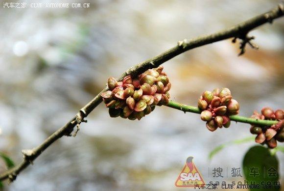 蚬壳花椒,芸香科