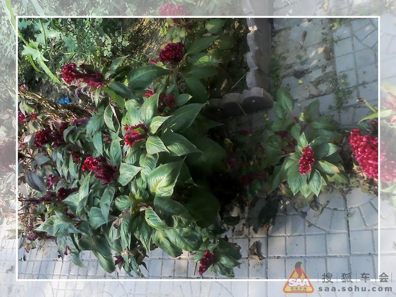 河北/鸡冠花,原来院子里有两个花池种满了花,现在爷爷没精力打理了...