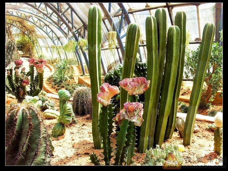 仙人掌科植物 中图片