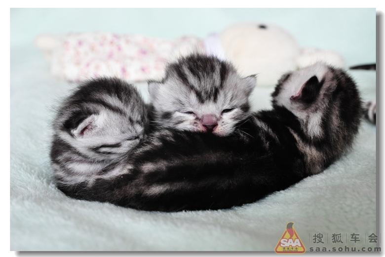 刚生7天的可爱小猫
