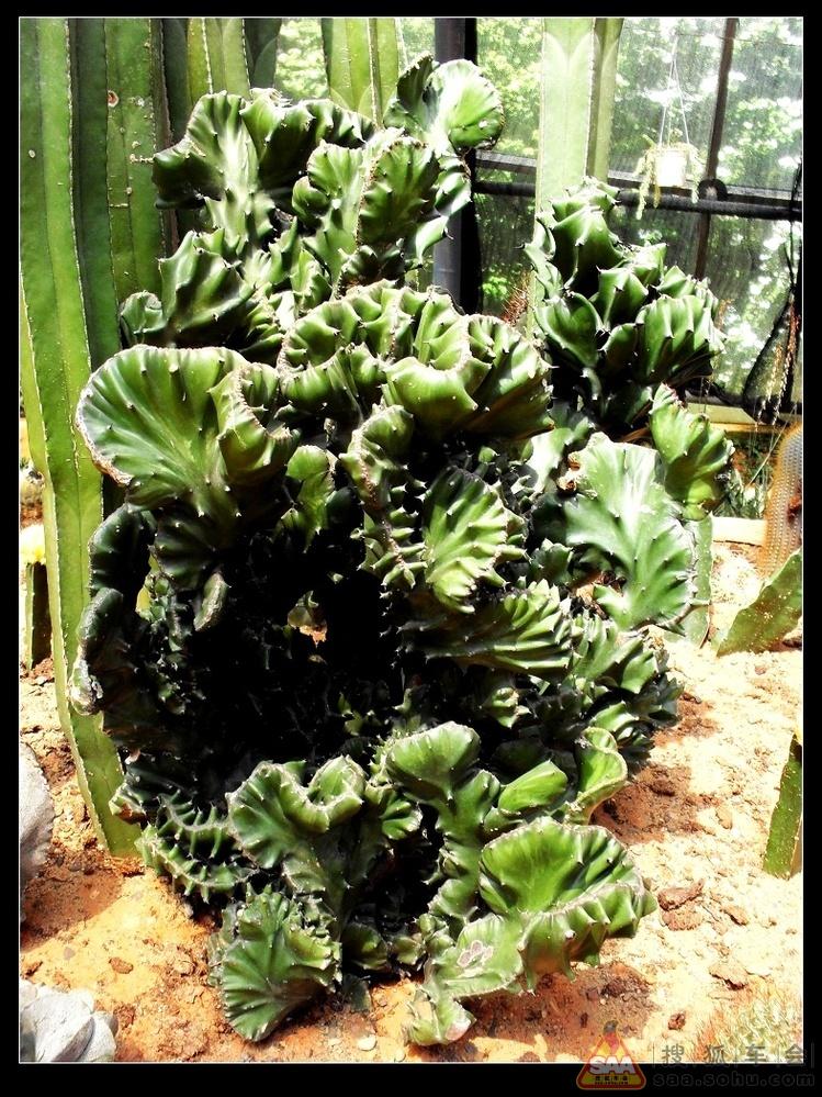 仙人掌科植物 下图片