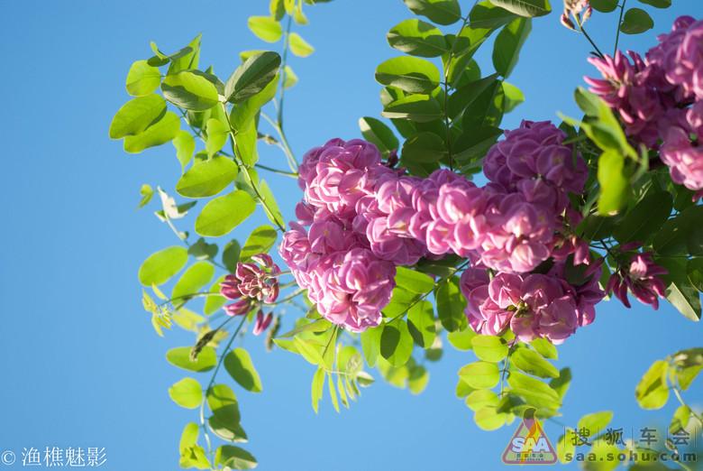 蒸洋槐花(蒸洋槐花)新鲜的杨树之花,爬上树采摘下来新鲜的不开花最嫩