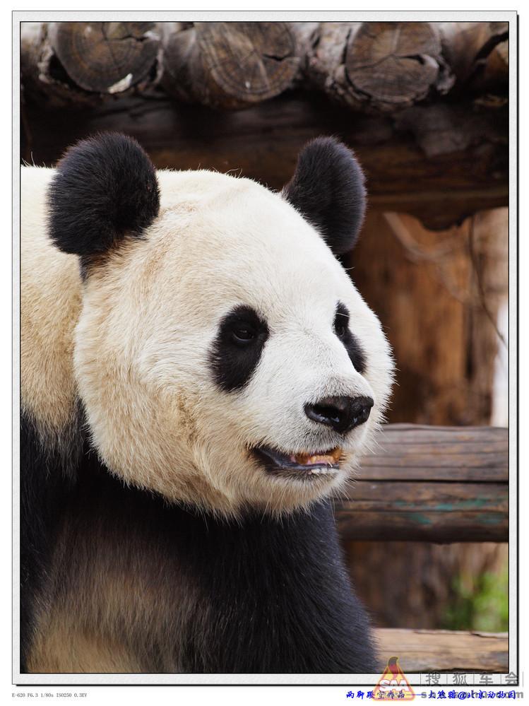 【动物世界】【蹬空作品】动物园的大熊猫