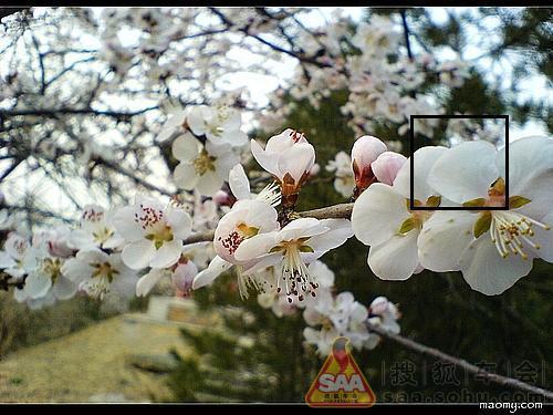 桃树枝单个素材白底