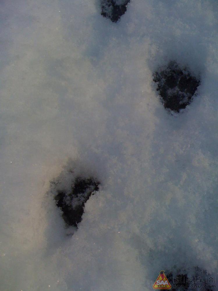 雪地里捕捉到小老虎的脚印